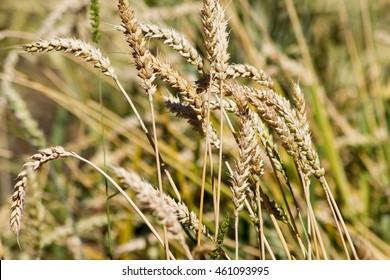 Bread wheat (Triticum aestivum)