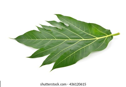 Breadfruit leaf on white background