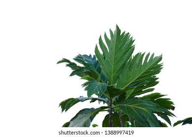 Images Of Breadfruit Leaves