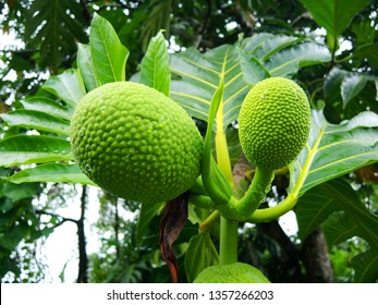 Breadfruits on a tree, common Caribbean food, Martinique.