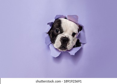 Break throught. French Bulldog young dog is posing. Cute playful white-black doggy or pet is playing and looking happy isolated on purple background. Concept of motion, action, movement.