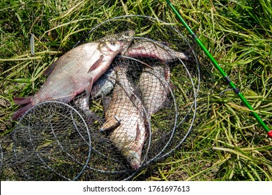 bream in a fishpond on the grass