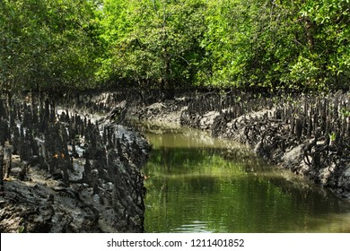 Breathing roots of Keora trees at the World largest mangrove forest Sundarbans, famous for the Royal Bengal Tiger and UNESCO World Heritage site in Bangladesh.