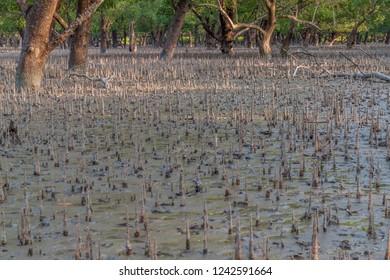 Breathing roots in Sundarbans, Bangladesh