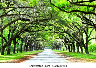 A breathtaking road sheltered by live oak trees and Spanish moss