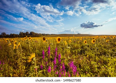 breathtaking summer landscape, blooming summer wild flowers in field, yellow bright sunflowers and purple lupines at sunny day weather, atractive floral rural wallpaper, France, Europe, Provence