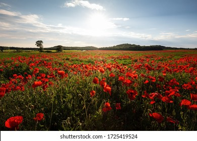 A breathtaking view of a green field covered with poppies