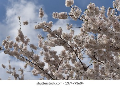 Breathtaking white dogwood tree longshot in full bloom, with branches reaching for the blue sky, billowy with clouds.  Beautiful lighting around each cluster of flowers and high detail.