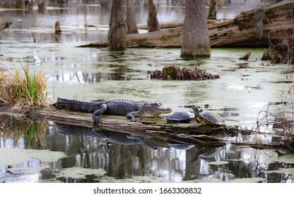 BREAUX BRIDGE, LOUISIANA, UNITED STATES - Feb 10, 2018: Breaux Bridge, Louisiana - February 2018: Champagne's Cajun Swamp Boat Tours offers swamp tours of Lake Martin and its wildlife.