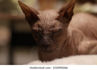 breed of cat the Sphynx is hairless