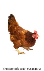 Breed chicken egg white background are standing.