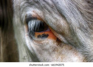 Breed cow eye closeup