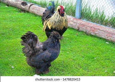 Breed of decorative chicken. thoroughbred chicken close-up on a green meadow. Organic farming, grazing birds. Agriculture.