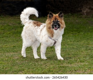 a breed of dog Eurasian