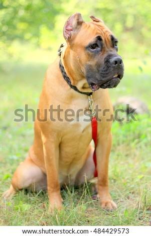 Breed Dog Puppy Cane Corso Italiano Stock Photo Edit Now 484429573