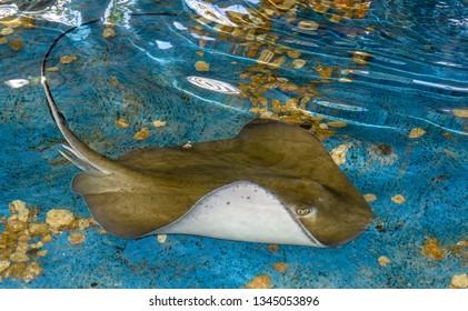 Breed fish swimming on the sea in Brazil