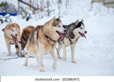 breed husky sled dogs in the winter. Northern husky dogs. riding on dogs, the concept of entertainment