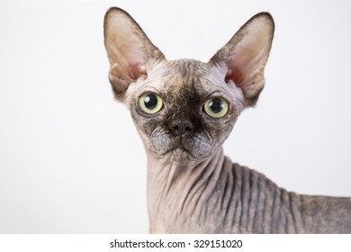 Similar Images, Stock Photos & Vectors of A hairless cat with