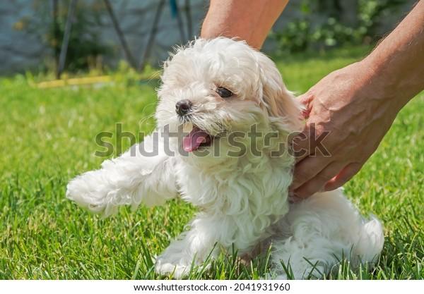 breeder-maltese-lapdog-puppies-gently-60