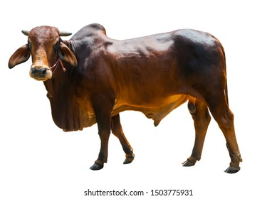 Breeder, stud male cow  color brown and black in Thailand, Big and tall isolated on white background.