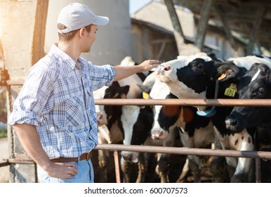 Breeder touching his cows