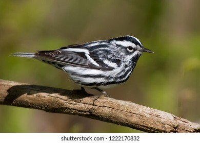 Breeding adult male Black-and-white Warbler perching on a tree branch