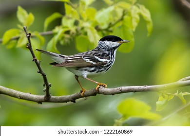 A breeding adult male Blackpoll Warbler perching in a deciduous tree