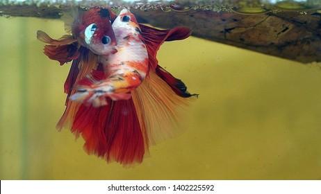 Breeding of betta fish. male and femal spawning