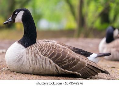 Breeding Canda Goose in Spring