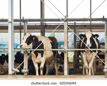 Breeding of cattle