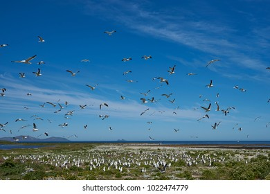 Breeding colony of Kelp Gull (Larus dominicanus) nesting on a grassy meadow on Carcass Island in the Falkland Islands.