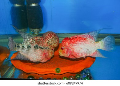 Breeding flowerhorn pairing flowerhorn with blude background water aquarium