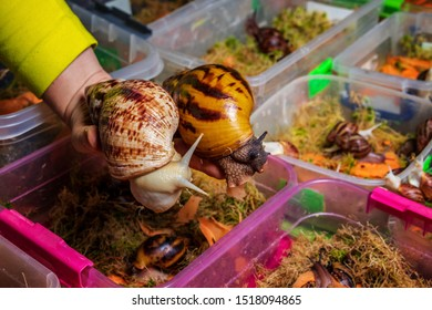 Breeding of giant African snails. In the hands of the breeder Achatina reticulata light head and Achatina tiger. Against the backdrop of many containers with moss sphagnum and young snails
