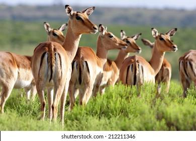 A breeding herd of impala antelope. Taken in South Africa