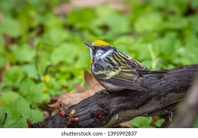 A Breeding Male Chestnut-Sided Warbler very busy Foraging.  Forest Lawn Cemetery, Buffalo, New York, USA, May 12th 2019