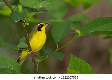 A breeding male Kentucky Warbler perching on a tree branch