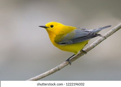 A breeding male Prothonotary Warbler perching on a tree branch