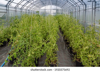 breeding new varieties of tomato in the greenhouse