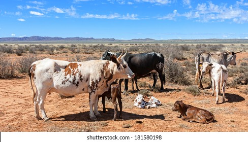 breeding nguni cows a traditional breed of cattle for the african stock farmers