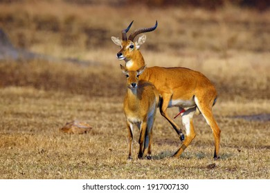 The breeding season with the kob (Kobus kob) on the plains with flehmen response also called the flehmen position.Mating time for antelope kob on the plains of east africa.