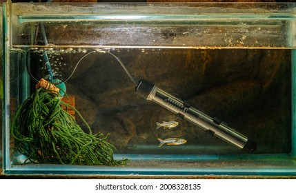 A breeding setup for a pair of Celebes Rainbow (Marosatherina ladigesi) with sponge filter, heater and spawning mop