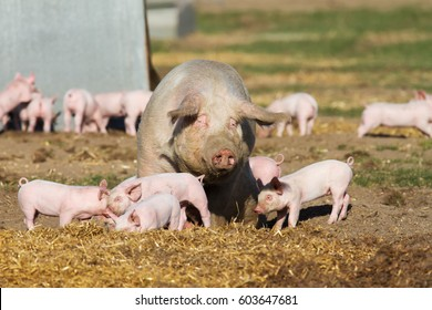 Breeding sow with her happy piglets