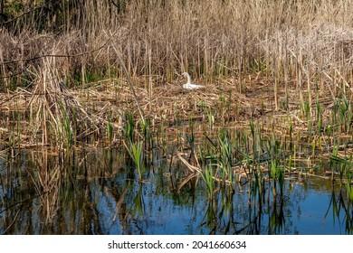 """Breeding swan on the shore of lake """"Retsee"""" in Hoenow near Berlin"""