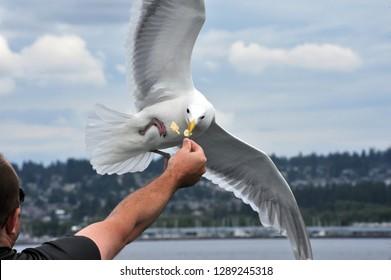Bremerton, Washington / USA - February 7, 2011: Feeding a seagull following the Bremerton - Seattle ferry in the Rich Passage.