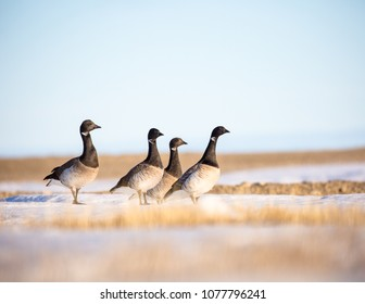 Brent Geese in Migration