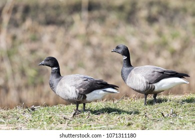 Brent geese on a field