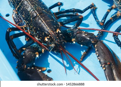 Breton alive lobster in a blue box after fishing in Brittany