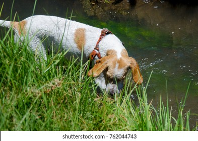 Breton dog snooping in the water