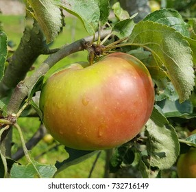 Brettacher, Apple, malus, domestica,