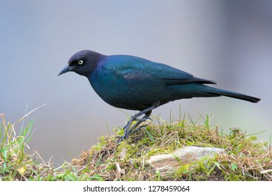 The Brewer's blackbird (Euphagus cyanocephalus) is a medium-sized New World blackbird, known for its iridescent coloring and breeding displays.